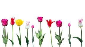Tulpen op een witte achtergrond Stock Afbeeldingen