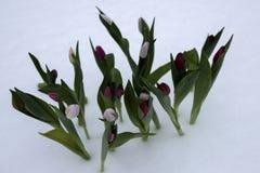 Tulpen op een zonnige dag Stock Fotografie