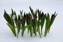 Tulpen op een zonnige dag Stock Afbeeldingen