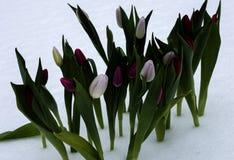 Tulpen op een zonnige dag Royalty-vrije Stock Afbeeldingen