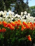 Tulpen op een zonnige dag Stock Afbeelding