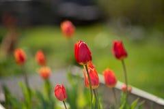 Tulpen op grasachtergrond royalty-vrije stock foto