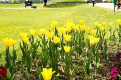 Tulpen op het bloembed Stock Afbeelding