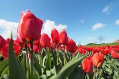 Tulpen op het gebied royalty-vrije stock afbeelding