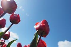 Tulpen op het gebied royalty-vrije stock foto's