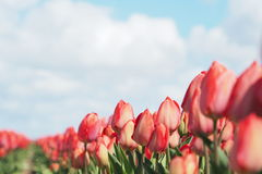 Tulpen op het gebied Stock Foto's