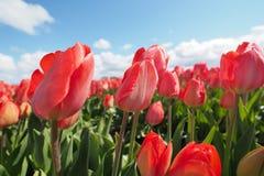 Tulpen op het gebied royalty-vrije stock afbeeldingen
