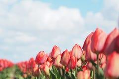 Tulpen op het gebied stock afbeeldingen