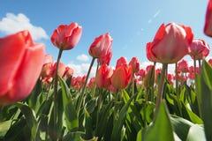 Tulpen op het gebied royalty-vrije stock fotografie