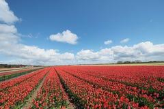Tulpen op het gebied royalty-vrije stock foto