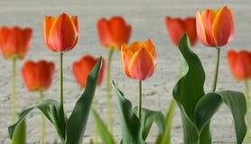 Tulpen op wegachtergrond Stock Foto's