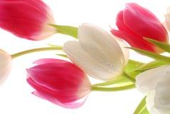 Tulpen op wit stock fotografie