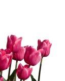 Tulpen op wit stock foto