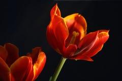 Tulpen op zwarte Stock Afbeeldingen