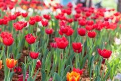 Tulpen, oranje en rode die tulpen in de tuindecoratie worden geplant Stock Afbeelding