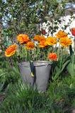 tulpen oude emmer en tuinschop Royalty-vrije Stock Foto