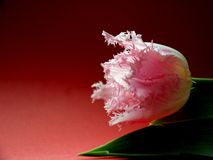 Tulpen overal Stock Foto