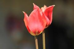 Tulpen par coeur Photos stock