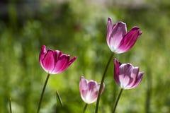 Tulpen in purple Stock Foto