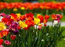 Tulpen r royalty-vrije stock afbeelding