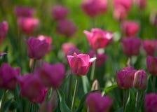 Tulpen r stock foto's
