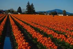 Tulpen in rijen worden geschikt die Royalty-vrije Stock Foto's