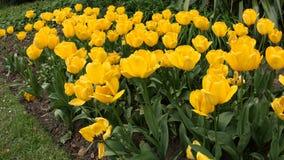 Tulpen in Roath-Park Cardiff stock afbeelding