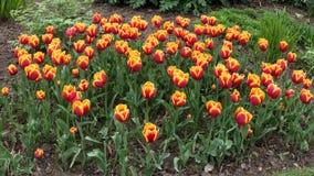 Tulpen in Roath-Park Cardiff royalty-vrije stock afbeeldingen