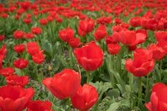 tulpen, rode bloemen, heropleving, decoratieve installaties, achtergronden voor computer, de lente, April, tuin, aard Stock Afbeeldingen