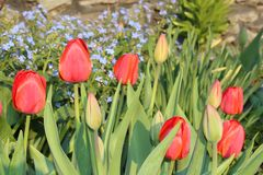 Tulpen rot Stockfoto