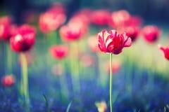 Tulpen Rote Tulpen Tulpen im Park oder im Garten Stockfotos