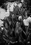 Tulpen in Schwarzweiss Lizenzfreies Stockbild