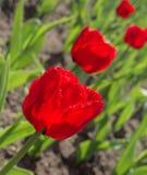 Tulpen sind hell Stockfotografie