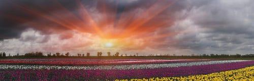 Tulpen, Sommer Stockbild