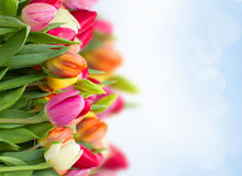 Tulpen in tuin Stock Afbeeldingen