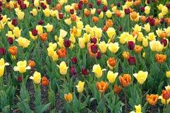 tulpen tuin Royalty-vrije Stock Afbeeldingen