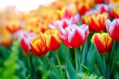 Tulpen in tuin Royalty-vrije Stock Afbeeldingen