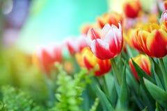 Tulpen in tuin Royalty-vrije Stock Foto's