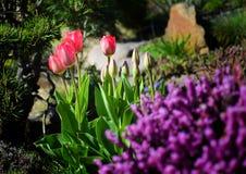 Tulpen in tuin Stock Foto's