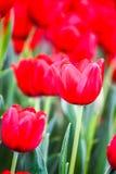 Tulpen in tuinen Stock Afbeelding