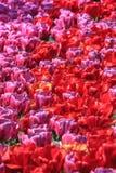 Tulpen, tulpen, tulpen Royalty-vrije Stock Afbeelding