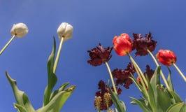 Tulpen, tulpen, tulpen Royalty-vrije Stock Foto's