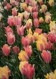 Tulpen am Tulpengarten Stockfotos