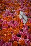 Tulpen am Tulpengarten Lizenzfreie Stockfotografie