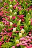 Tulpen und Gänseblümchen Stockbilder