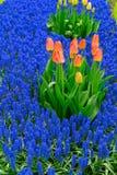 Tulpen und Glockenblumeblumenbeet Lizenzfreie Stockbilder