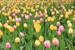 Tulpen und Gras acht Stockbilder