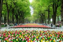 Tulpen und Kampfer-Bäume Lizenzfreies Stockfoto