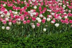 Tulpen und Klee Stockfotos