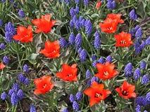 Tulpen und Muscari Stockfotografie